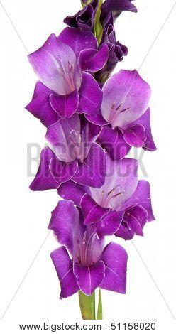 Beautiful gladiolus flower isolated on white