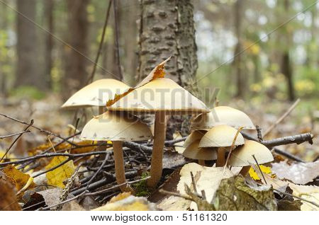 Poisonous Toadstool In Autumn