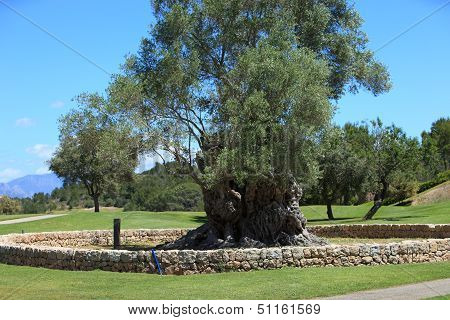 Old Walled Tree On A Golf Course Or Park