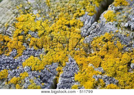 Yellow Lichen On Wooden Post