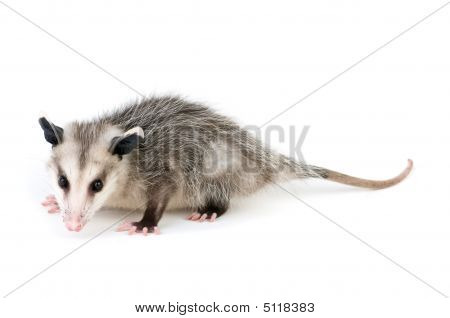Common Opossum