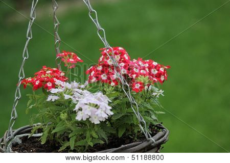 Beautiful Colourful Plant in Hanging Basket
