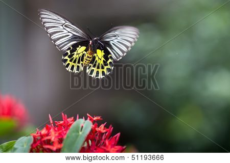 Golden birdwing butterfly captured in flight and showing his trunk