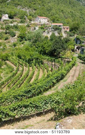 Wineyard in Dupilo Village, Montenegro
