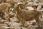 pic of north sudan  - A barbary sheep standing on a rock Ammotragus lervia - JPG