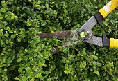 stock photo of trimmers  - the trimming bushes with the garden scissors - JPG
