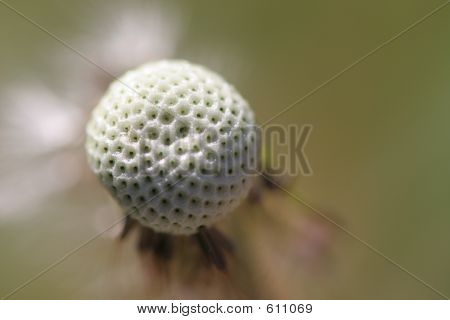 Blown Dandelion