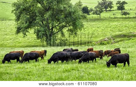 Idyllic Green Landscape With Grazing Cows
