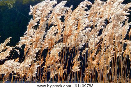 Thickets of reeds dry outdoors in autumn
