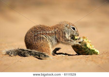 Ground Squirrel, Kalahari desert, South Africa