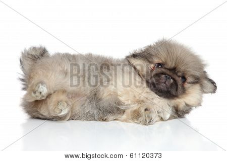 Pekingese Puppy Resting