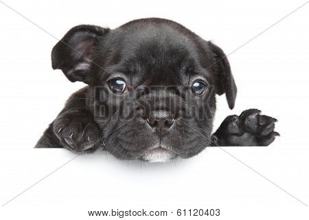 French Bulldog Puppy Above White Banner