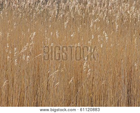 Reed grasses