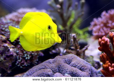 Yellow Tropical Fish That Swims In The Large Marine Aquarium