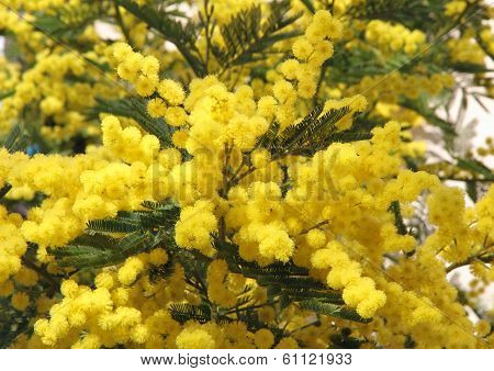 Yellow Mimosa And The Symbol Of The Celebration Of Women