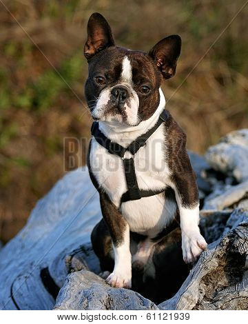 a nice looking boston terrier posing on a piece of driftwood
