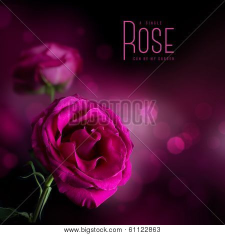 pink rose against a soft dark background