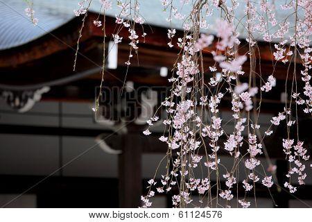Weeping sakura infront of japanese temple