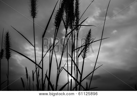 Foxtail Weed In The Evening