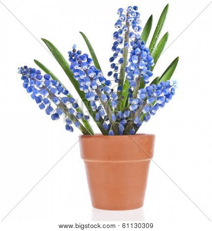 Blue Springs flowers Muscari in clay flowerpot Isolated on white background