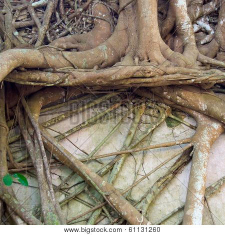 Roots Of Banyan Tree