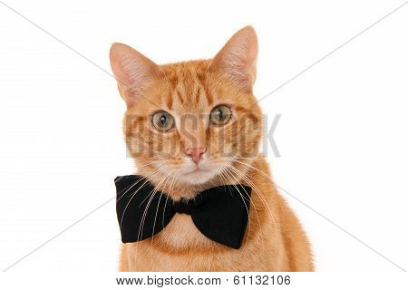 Ginger cat with bow tie