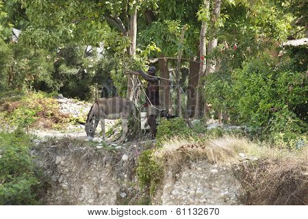 ROUSSEAU, HAITI - FEB 10, 2014:  An editorial image of an unidentified man carrying tools.  He walks his burro and goat through lush foliage by a cliff in the mountain village of Rousseau, Haiti.