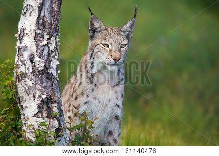 Proud lynx standing by a tree
