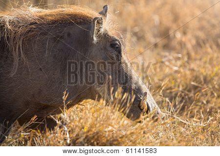 Wart hog walk in sunset