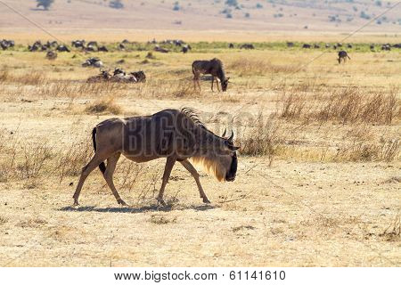 Walking wildebeest in Ngorongoro