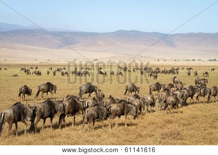 Herd of wildebeests in Ngorongoro