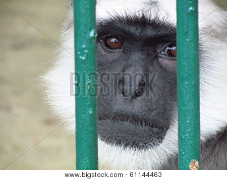 Prisoned monkey