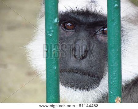 Prisoned monkey