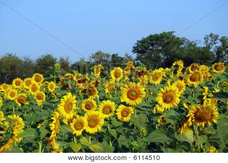 Blossoming sunflowers in the field