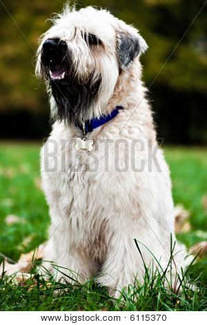 Funny Irish Soft Coated Wheaten Terrier