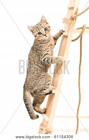 Kitten Scottish Straight climbing the stairs
