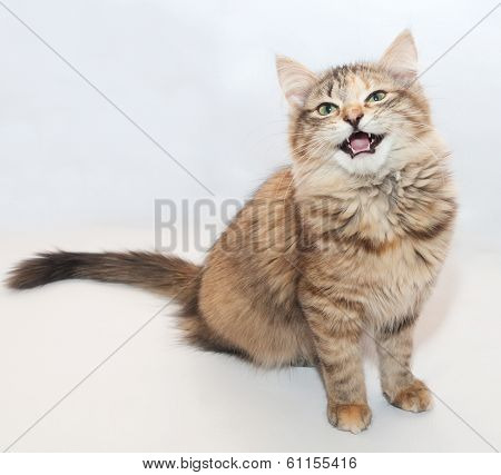 Tricolor Fluffy Kitten Meowing Sitting
