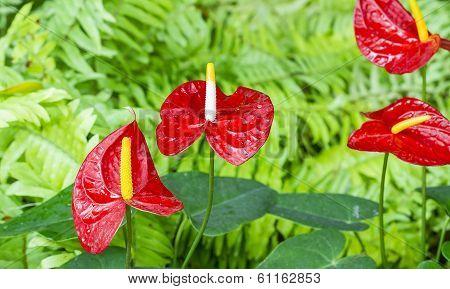 Anthurium Flower In Botanic Garden (anthurium Andraeanum, Araceae Or Arum)
