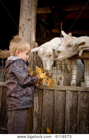 Little boy and goats.