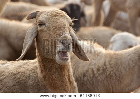 Sheep with Opened Mouth