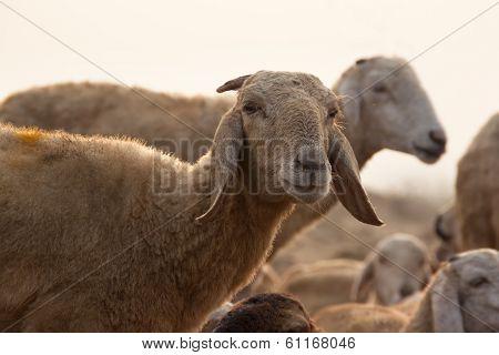 Sheep Looking into the Camara