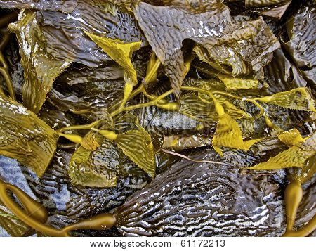Sea Kelp clustered in gold and textured pattern