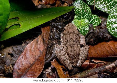 frog sitting in dead leaves top view