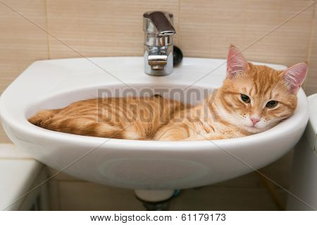 Orange Tabby Cat In Laver