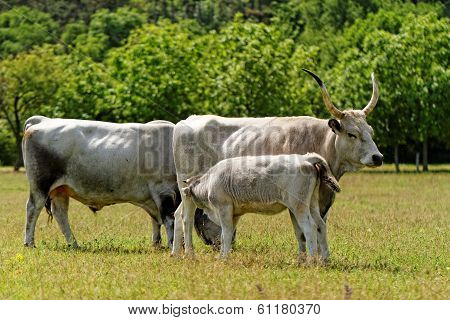 Gray Cattle