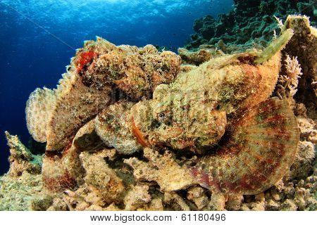 Two Devil Scorpionfish fighting