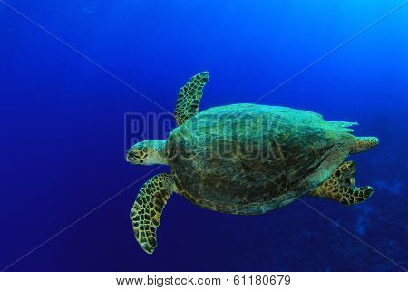 Hawksbill Sea Turtle swimming in blue sea