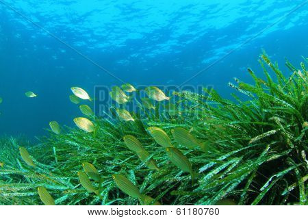 Seagrass Underwater and Fish