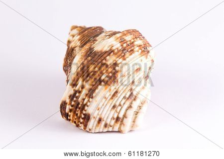 Bivalve With Brown Blurs