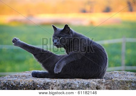 Cat on wall, grooming